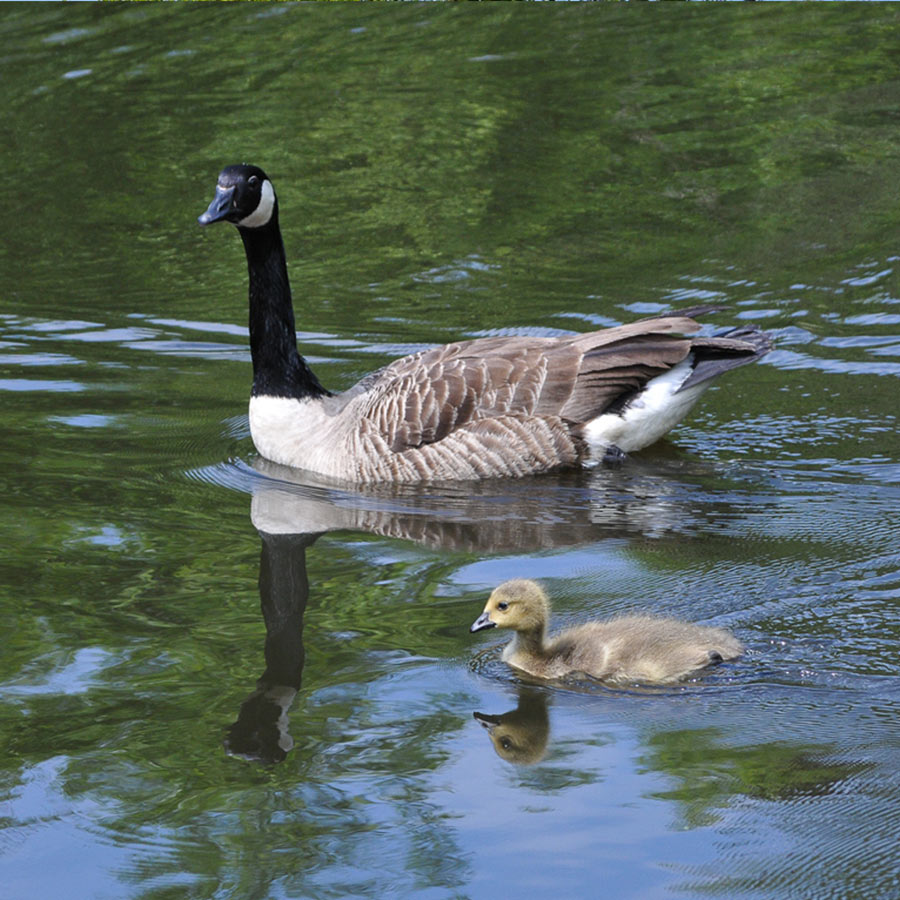 canada-goose-chick-900-sq