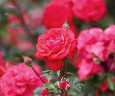 roses-4530344_1920