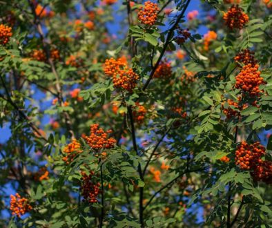 rowan-tree-rowan-berries-red