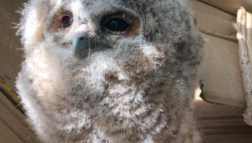 baby owl2s