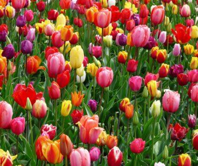 Tulips-9-20.jpg