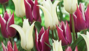 Mixed-Tulips.jpg